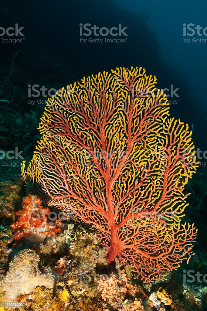Red-Yellow Gorgonian Seafan Beauty Deep Down, Raja Ampat, Indonesia stock photo