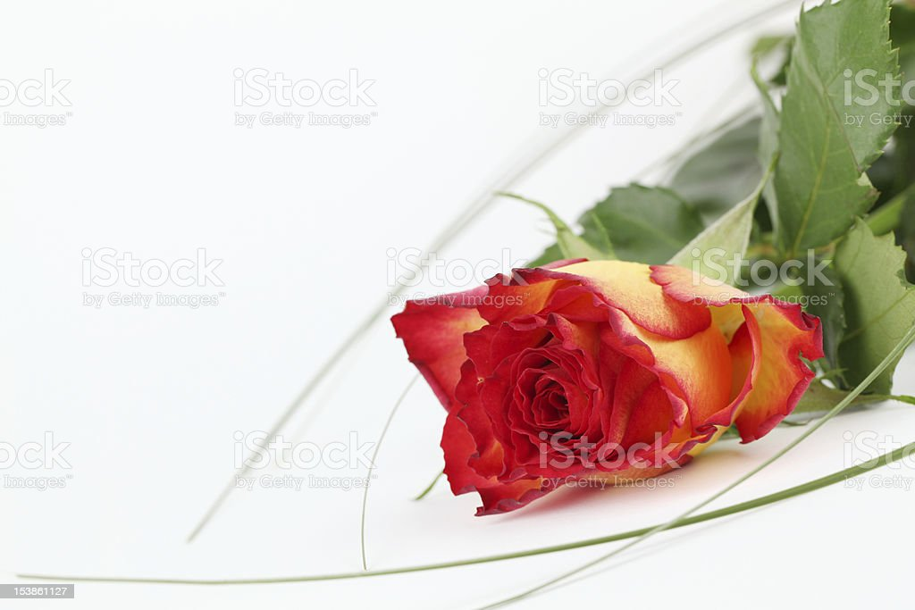 Red-yellow rose royalty-free stock photo