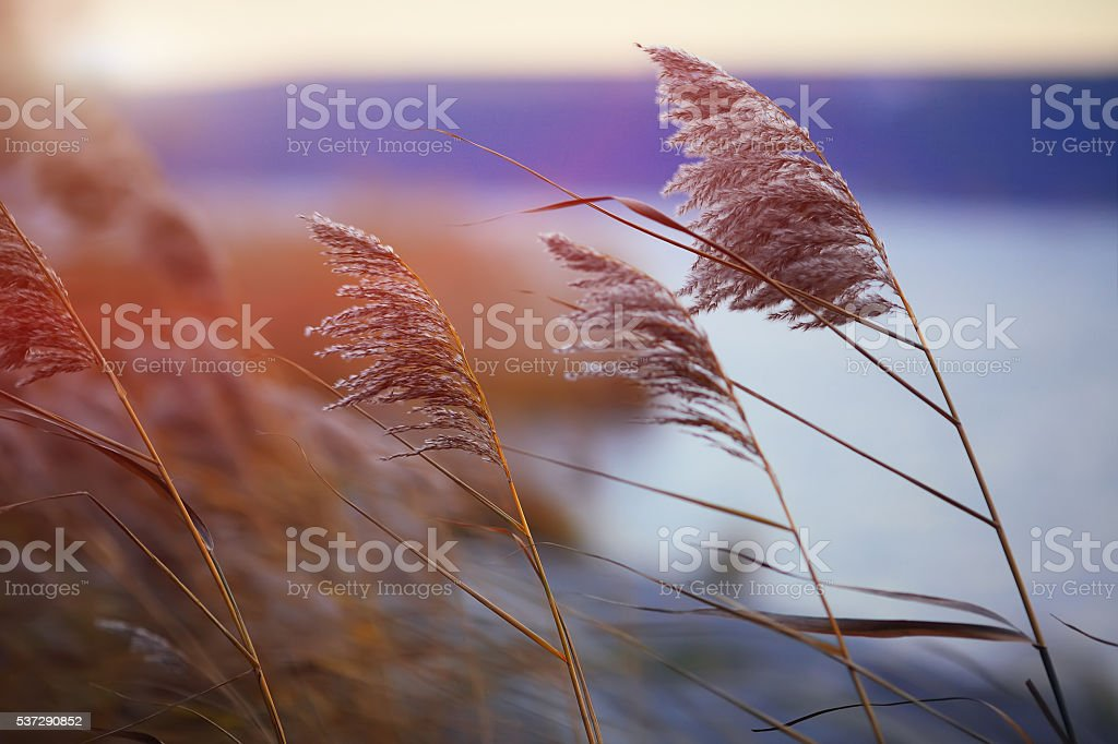 Reed against the sunset stock photo