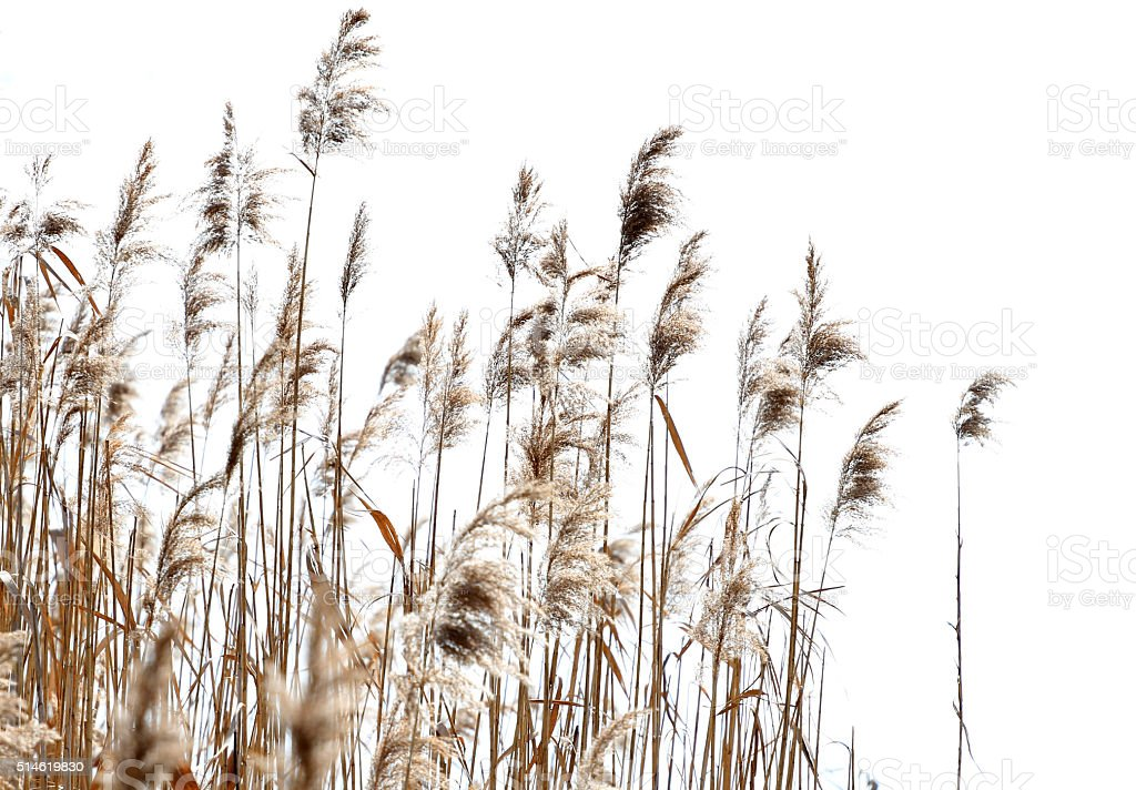 Reed against white background stock photo