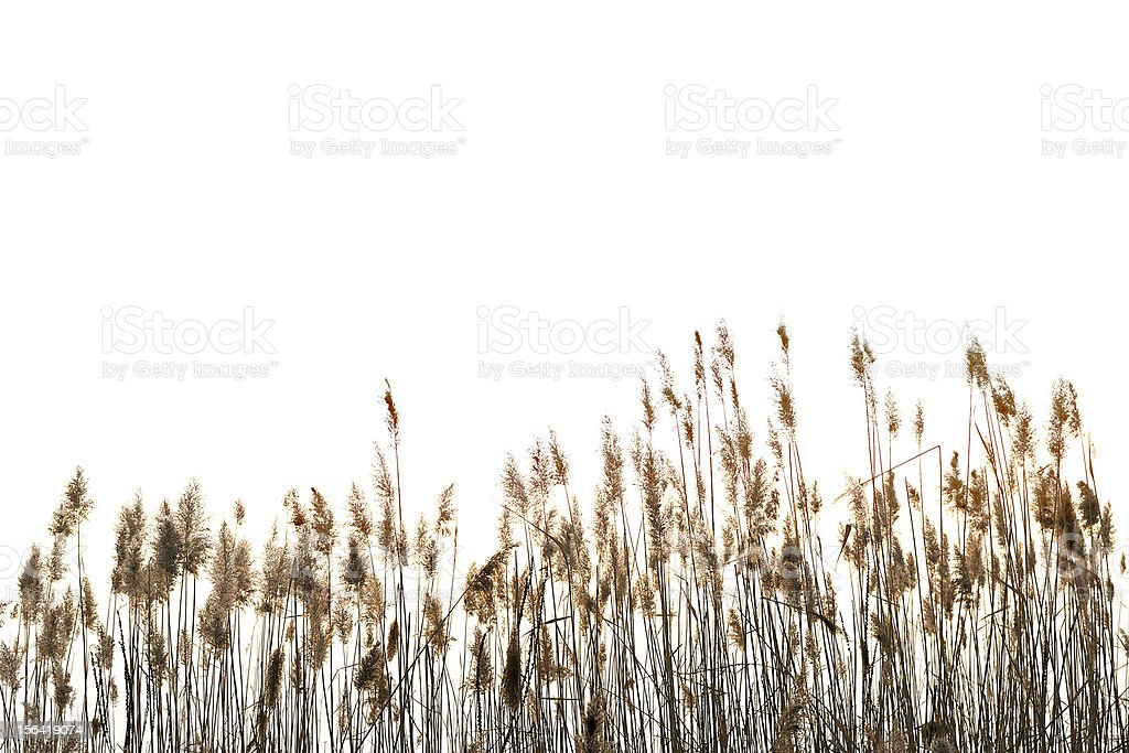 Reed against white stock photo