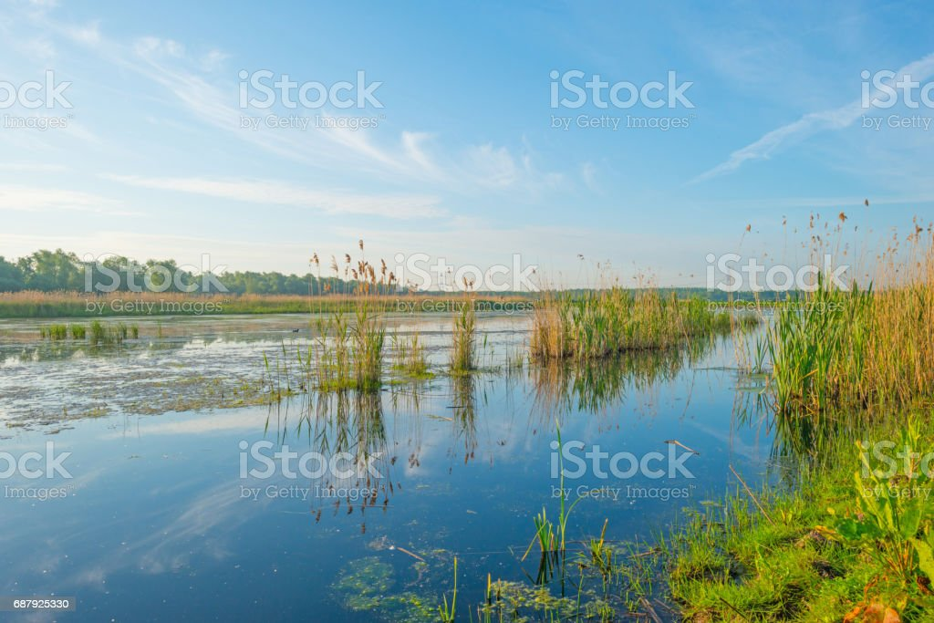 Reed along the shore of a lake in wetland in spring stock photo