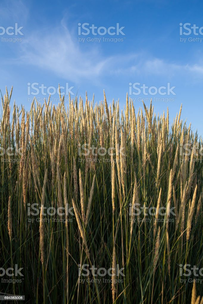 Reed at the south coast of England stock photo