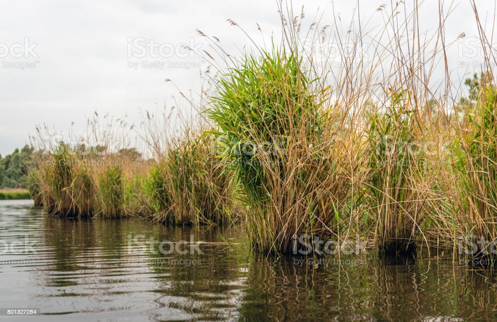 Reed bed at the bank of river stock photo