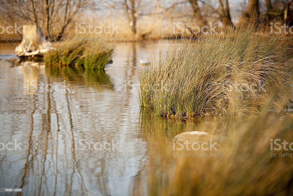 Reed bed royalty-free stock photo