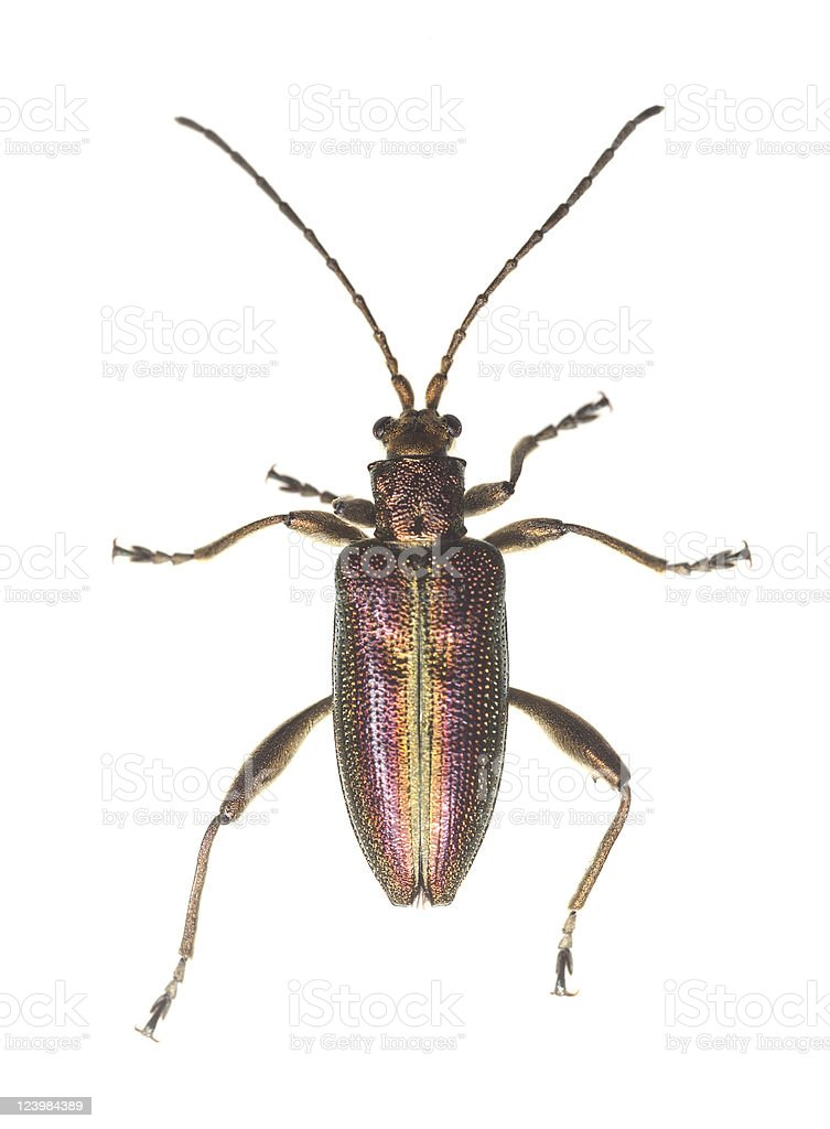 Reed beetle (Donacia aquatica) stock photo