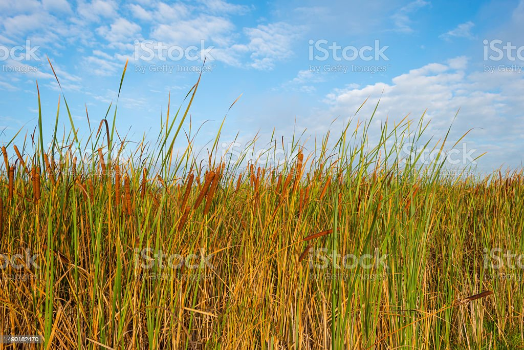 Reed below a blue cloudy sky in autumn stock photo