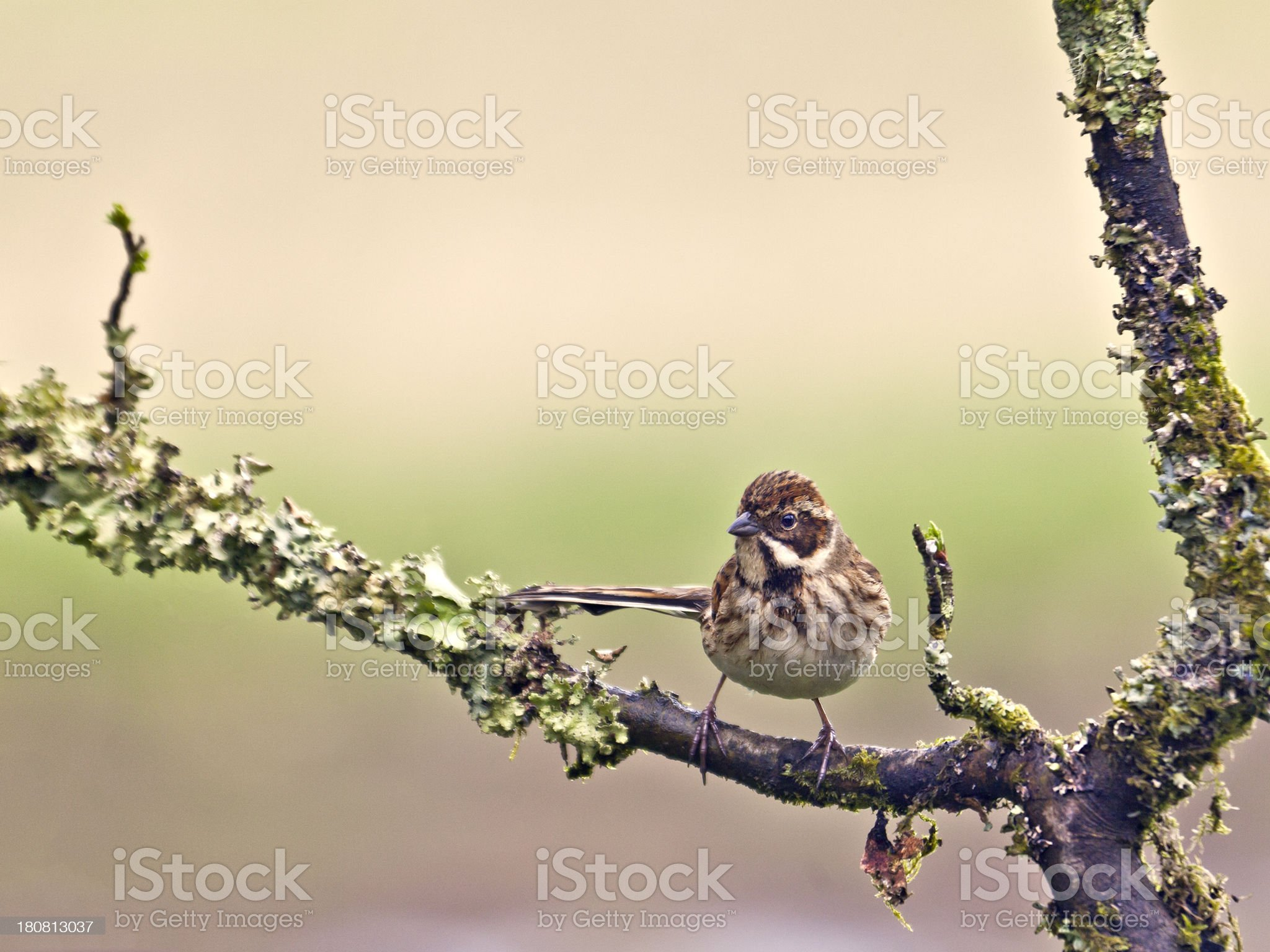 Reed Bunting, Emberiza schoeniclus, female royalty-free stock photo