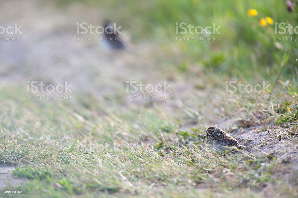 Reed Bunting (Emberiza schoeniclus, Schoeniclus schoeniclus). stock photo