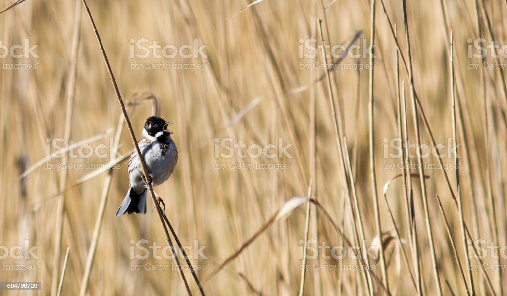 Reed bunting stock photo