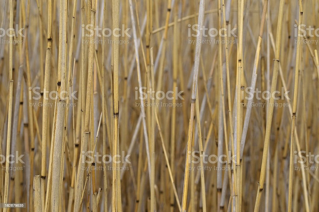 Reed Detail on lake stock photo