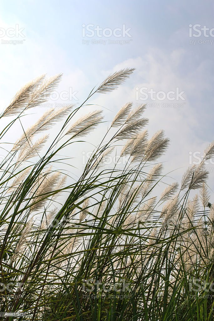 Reed flower stock photo