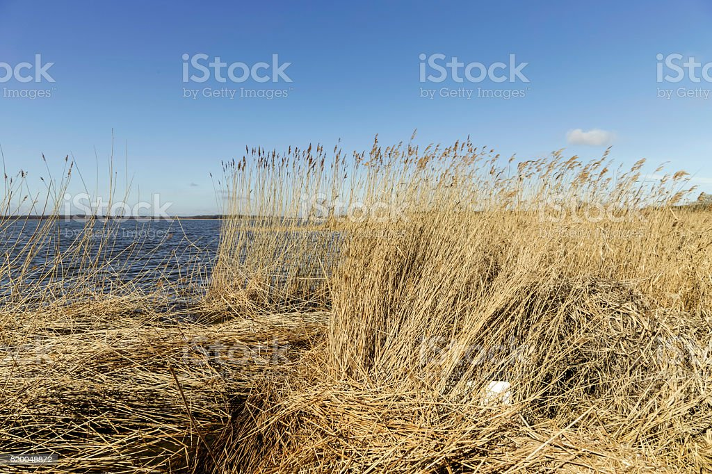 reed grass in backwater under blue sky stock photo