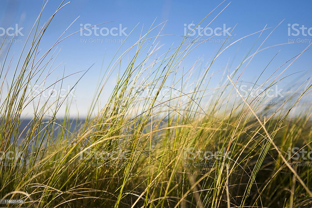 Reed Grass royalty-free stock photo