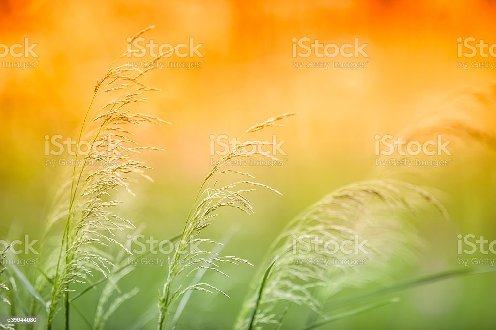 Reed grass stock photo