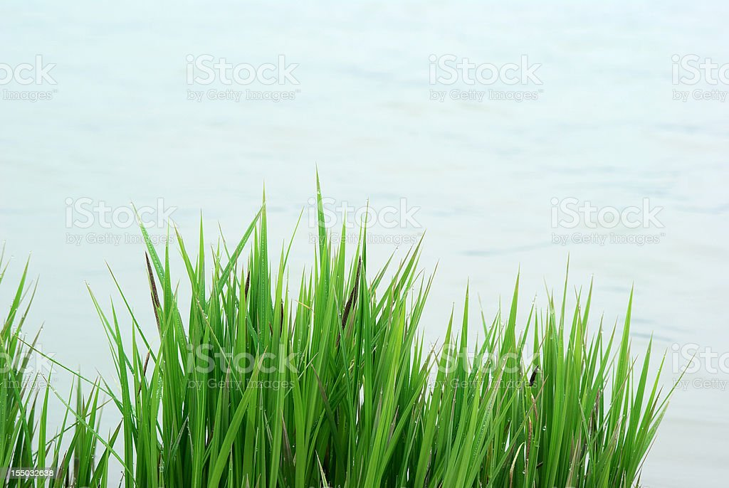 reed grass water royalty-free stock photo
