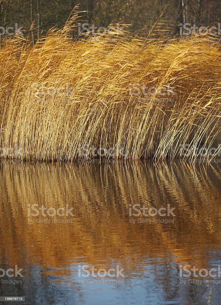 Reed growing by Lodde Stream royalty-free stock photo