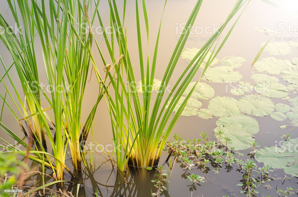 Reed in swamp stock photo