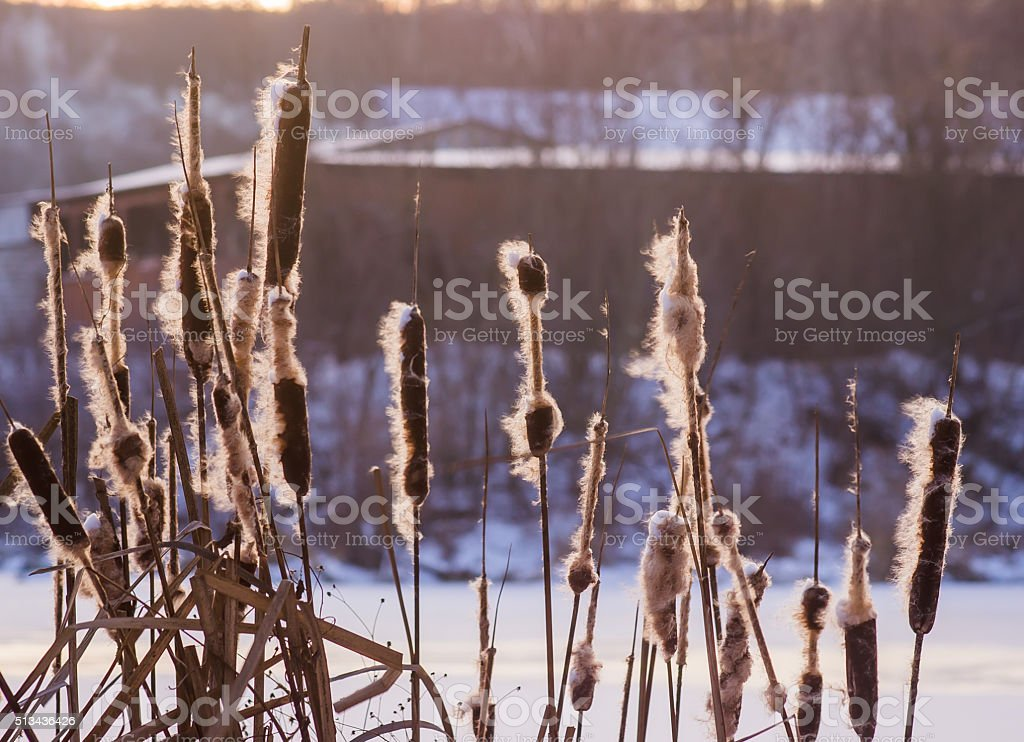 Reed in the quiet evening on a sunset stock photo