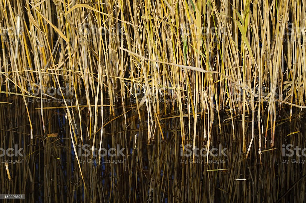 Reed in Water royalty-free stock photo