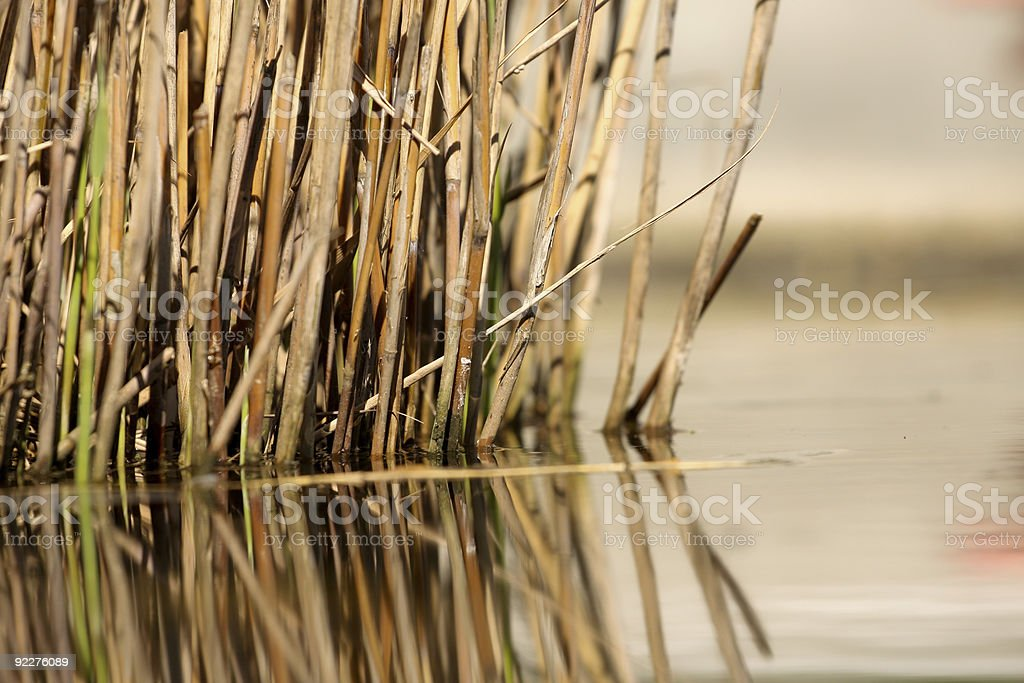 Reed in water stock photo