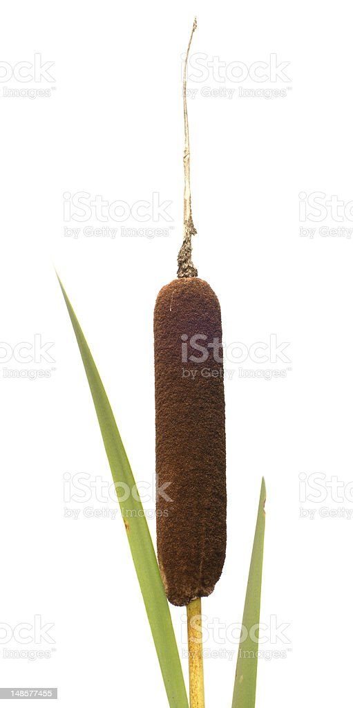 Reed mace. stock photo