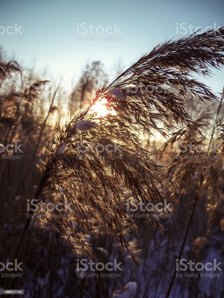 reed on background sun stock photo