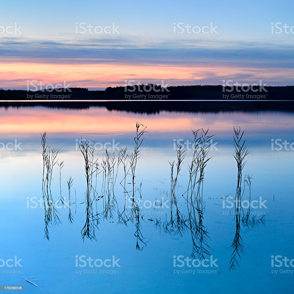 Reed on Calm Lake amongst the Woods at Sunset stock photo