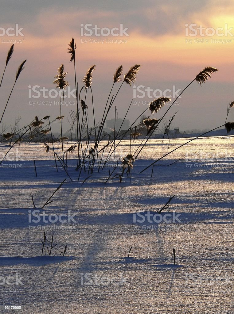 Reed on sundown royalty-free stock photo