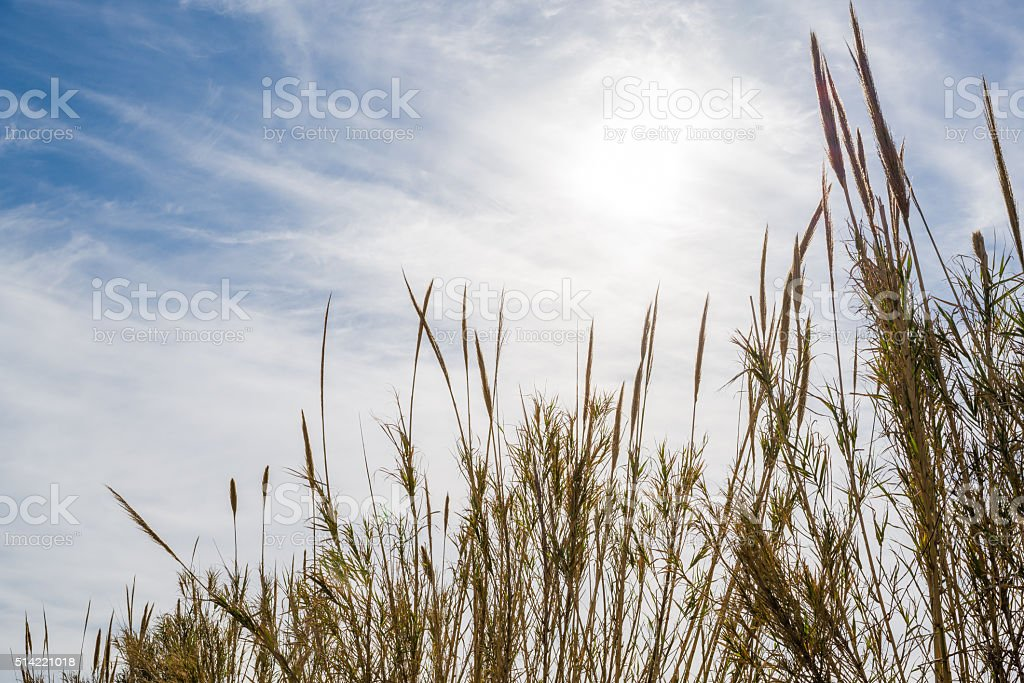 reed on the sunset stock photo