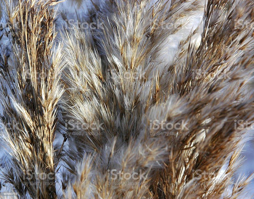 Reed Panicule Nosegay photo libre de droits
