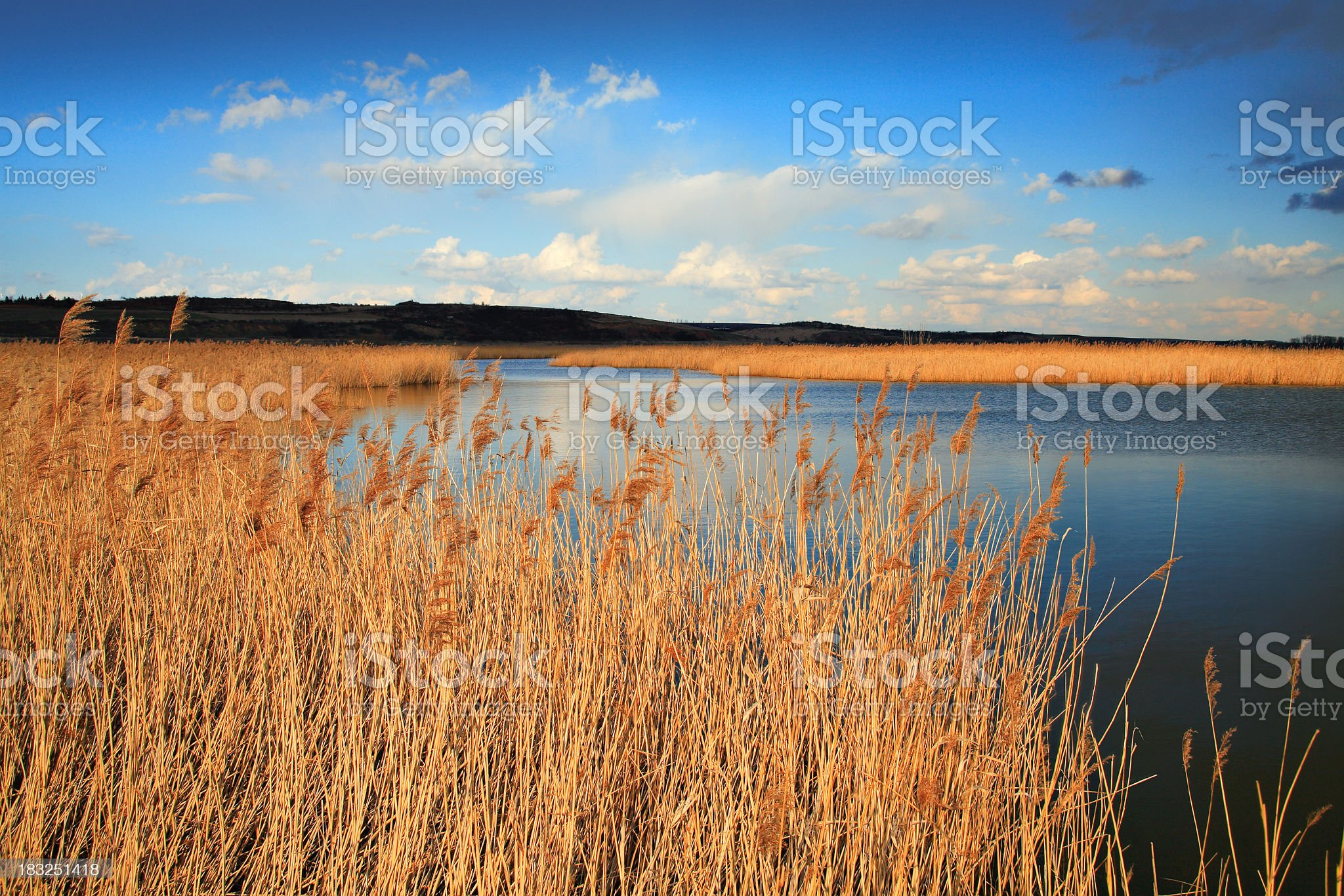 Reed royalty-free stock photo