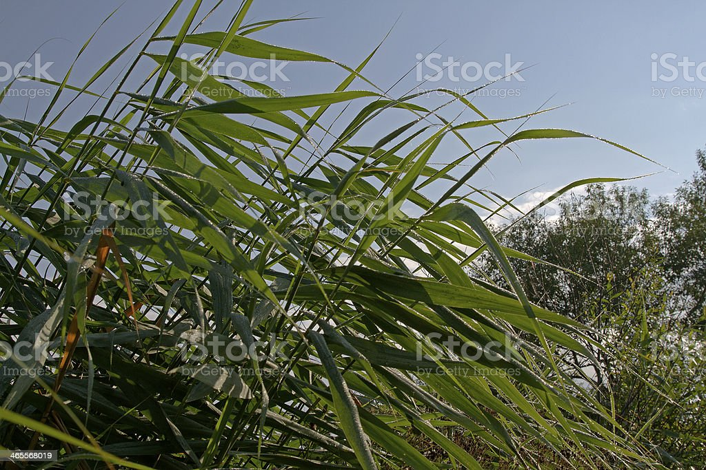 reed royalty-free stock photo