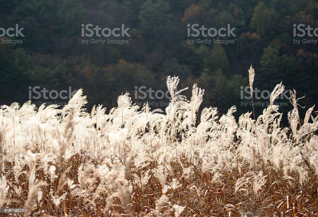 Reed  foto de stock libre de derechos