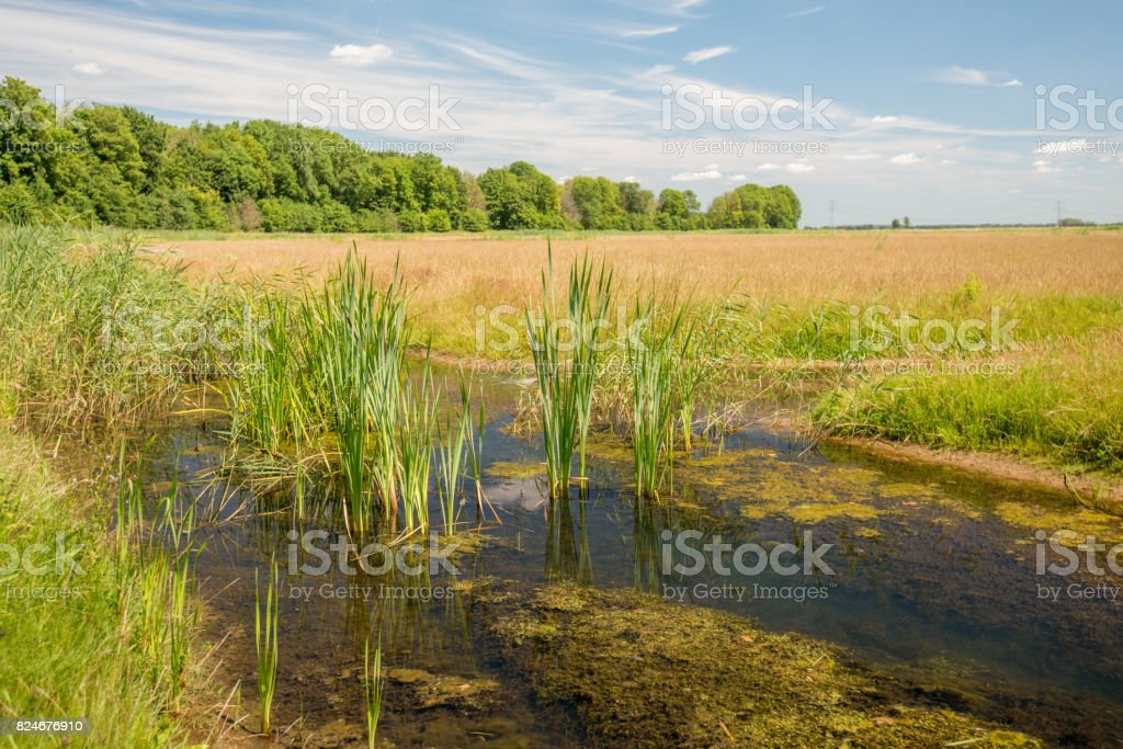 Reed plants and duckweed growing in a small stream stock photo