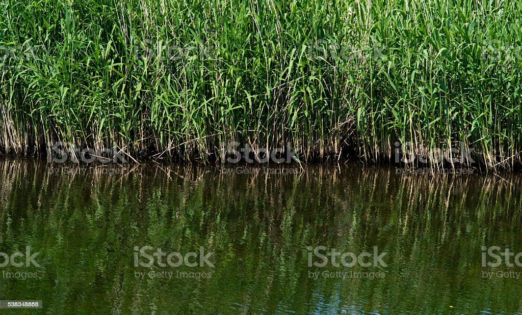 Reed reflections in the water stock photo