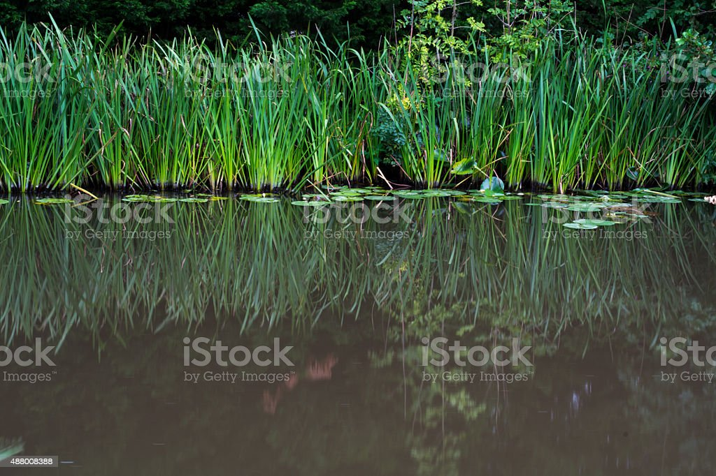 Reed reflections stock photo