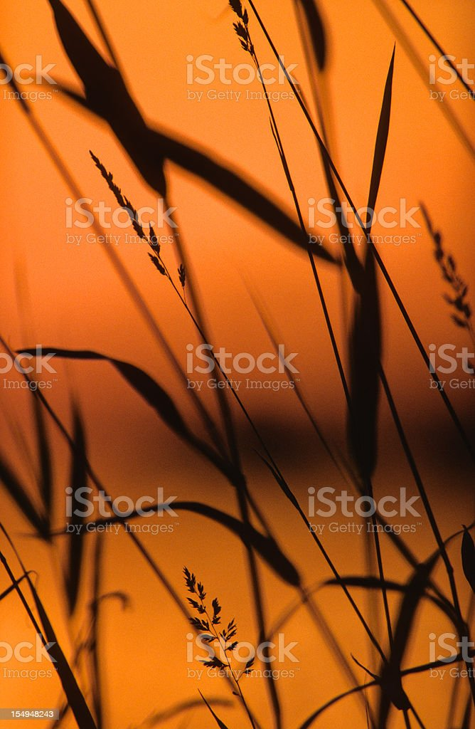 Reed silhouette royalty-free stock photo