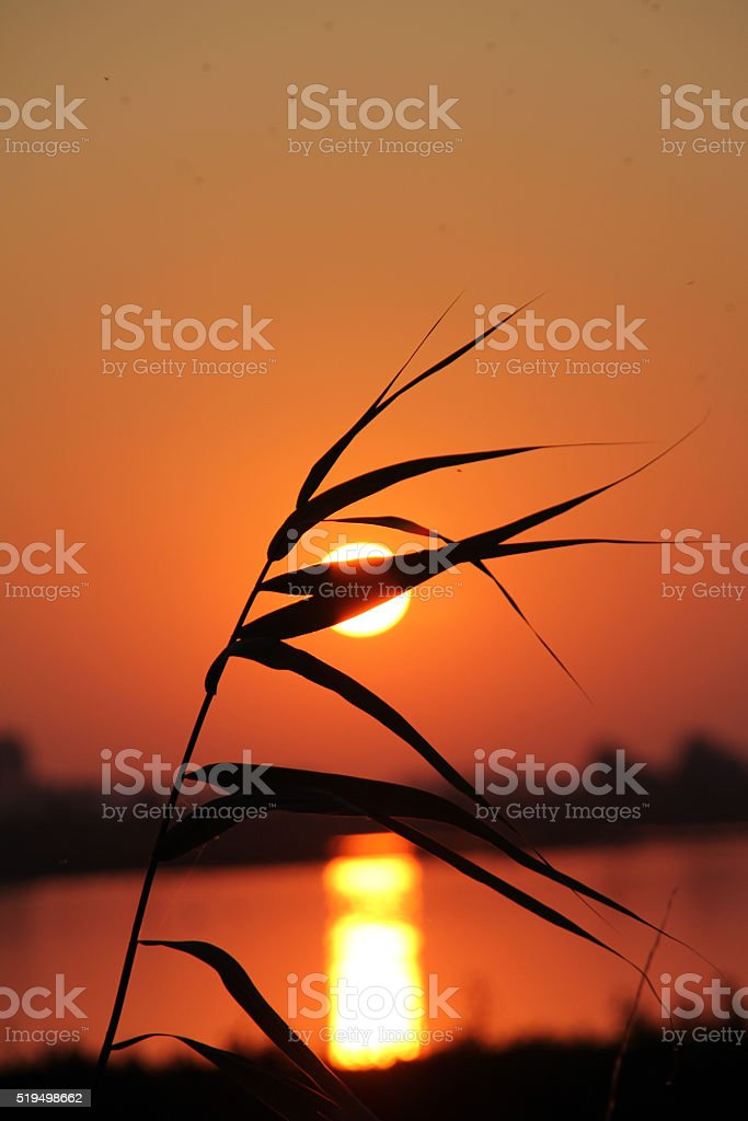 Reed silhouette stock photo