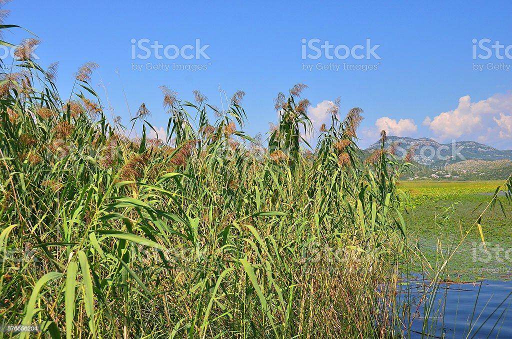 Reed (Scirpus gen.) spinney in river stock photo