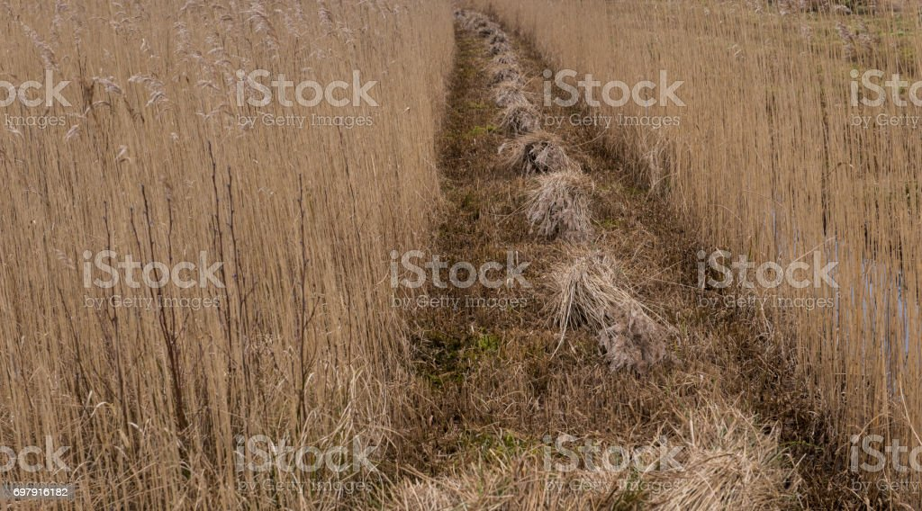 Reed Stacks in a Row stock photo