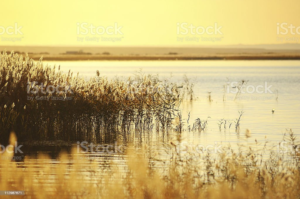 reed stalks in the swamp against sunlight. royalty-free stock photo