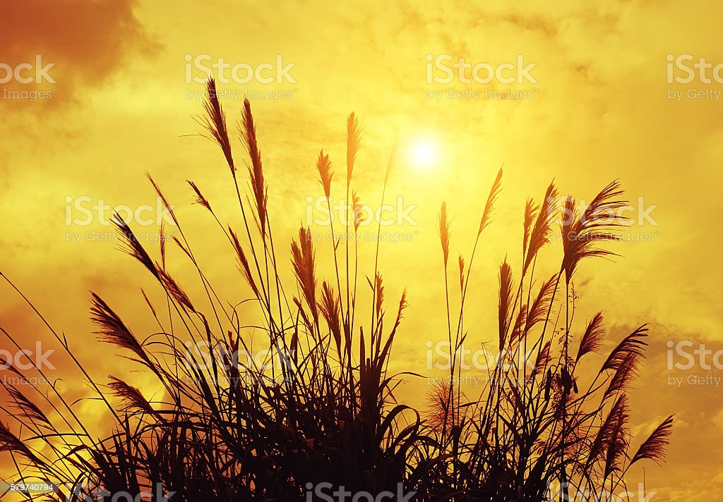 reed stalks in the swamp against sunlight. stock photo