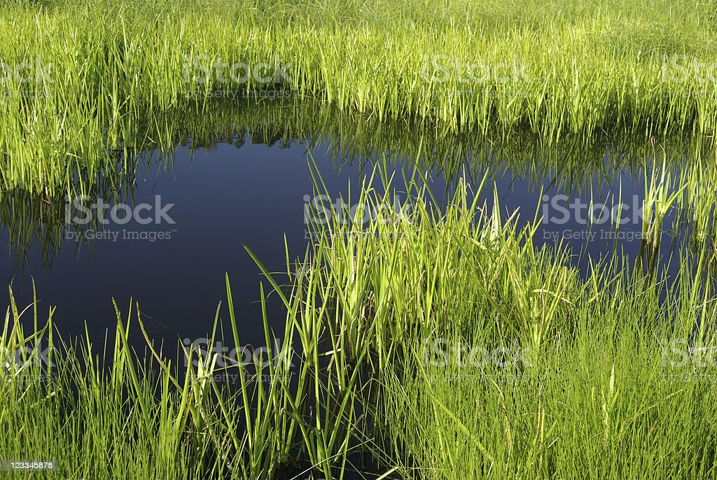 Reed swamp royalty-free stock photo