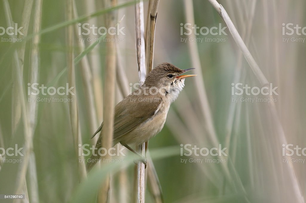 Reed warbler, Acrocephalus scirpaceus stock photo