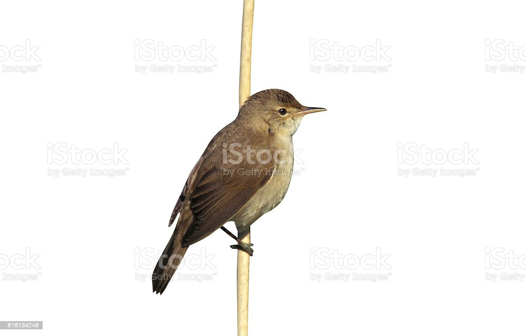 Reed warbler, Acrocephalus scirpaceus, stock photo