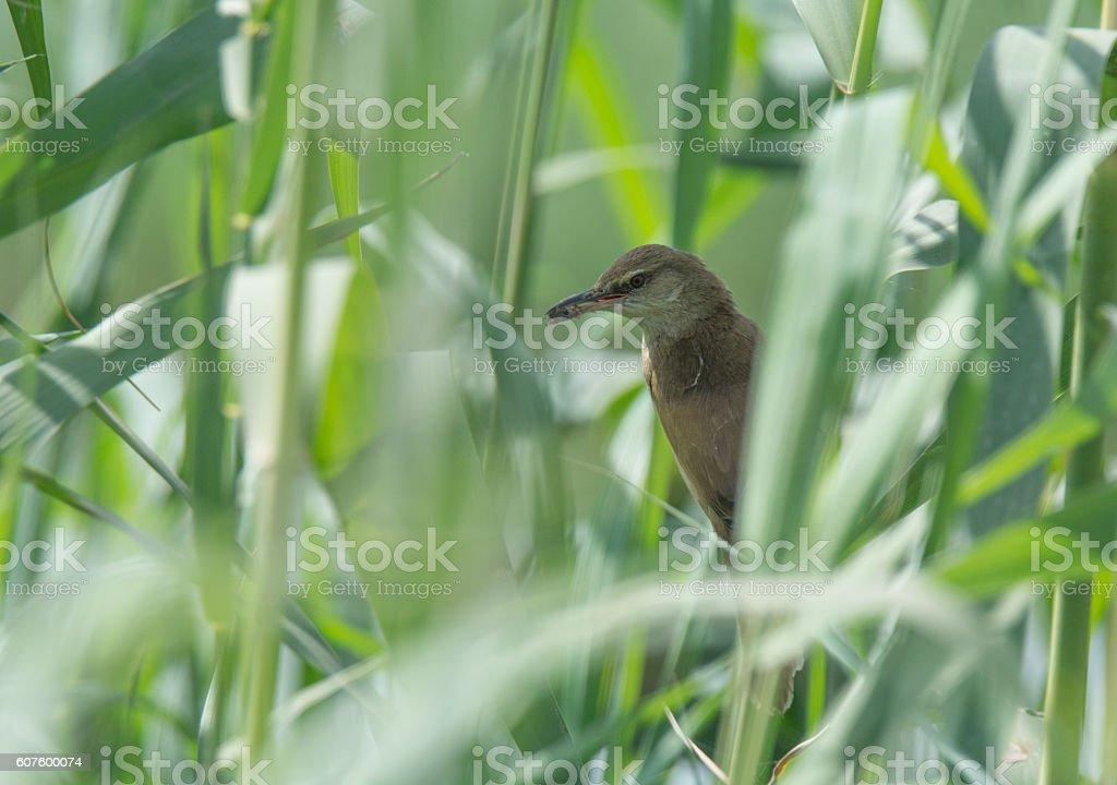 Reed Warbler Bird stock photo