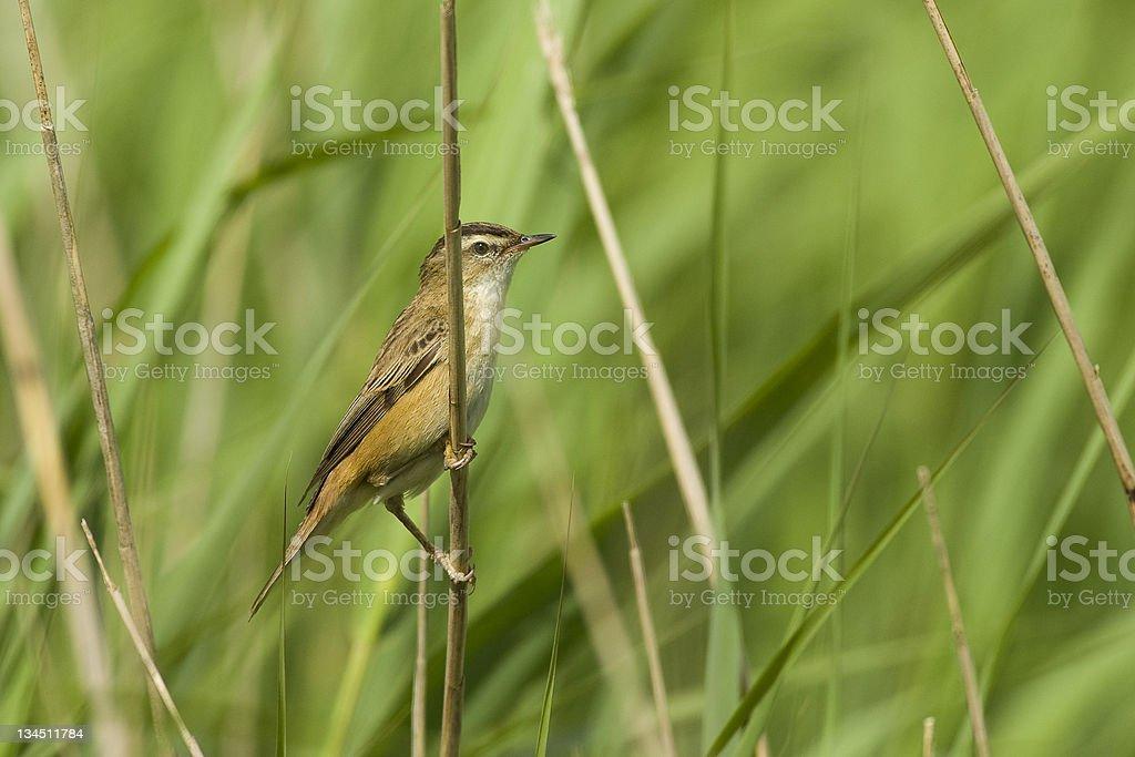 Reed Warbler royalty-free stock photo