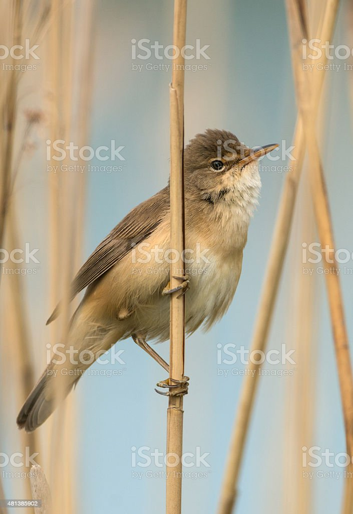 Reed Warbler (Acrocephalus scirpaceus) stock photo