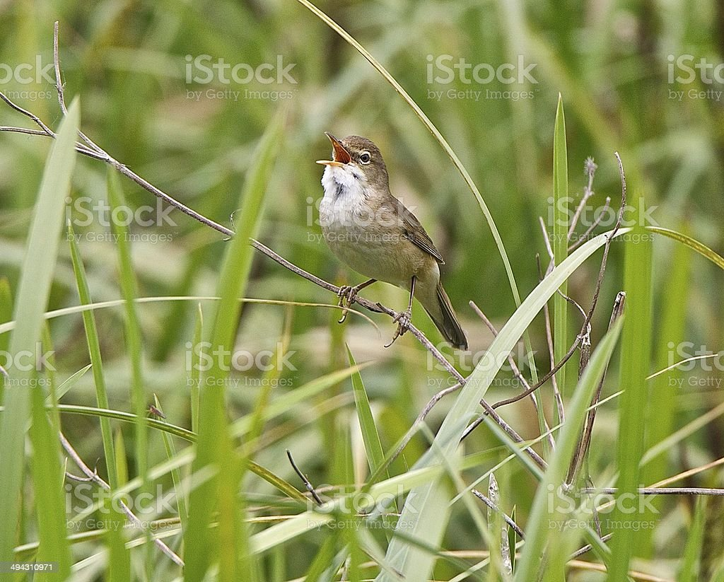 Reed Warbler stock photo
